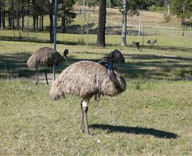 Glen Ian Ostrich and Emu Farm - Accommodation Brisbane