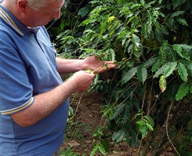 Wombah Coffee Plantation
