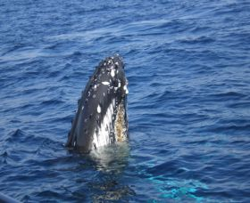 Jervis Bay Whales - Accommodation Brisbane