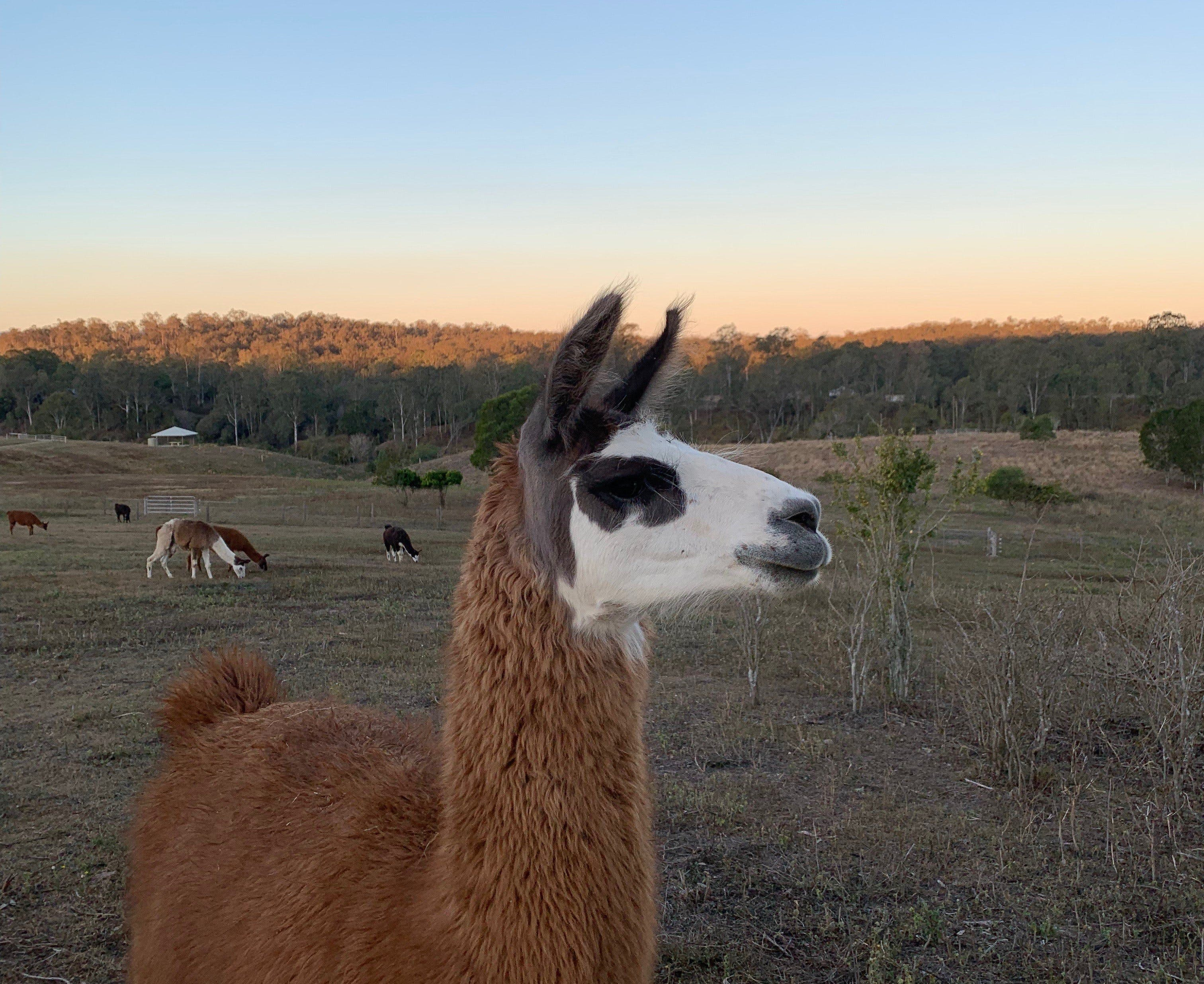 The Llama Farm - Accommodation Brisbane