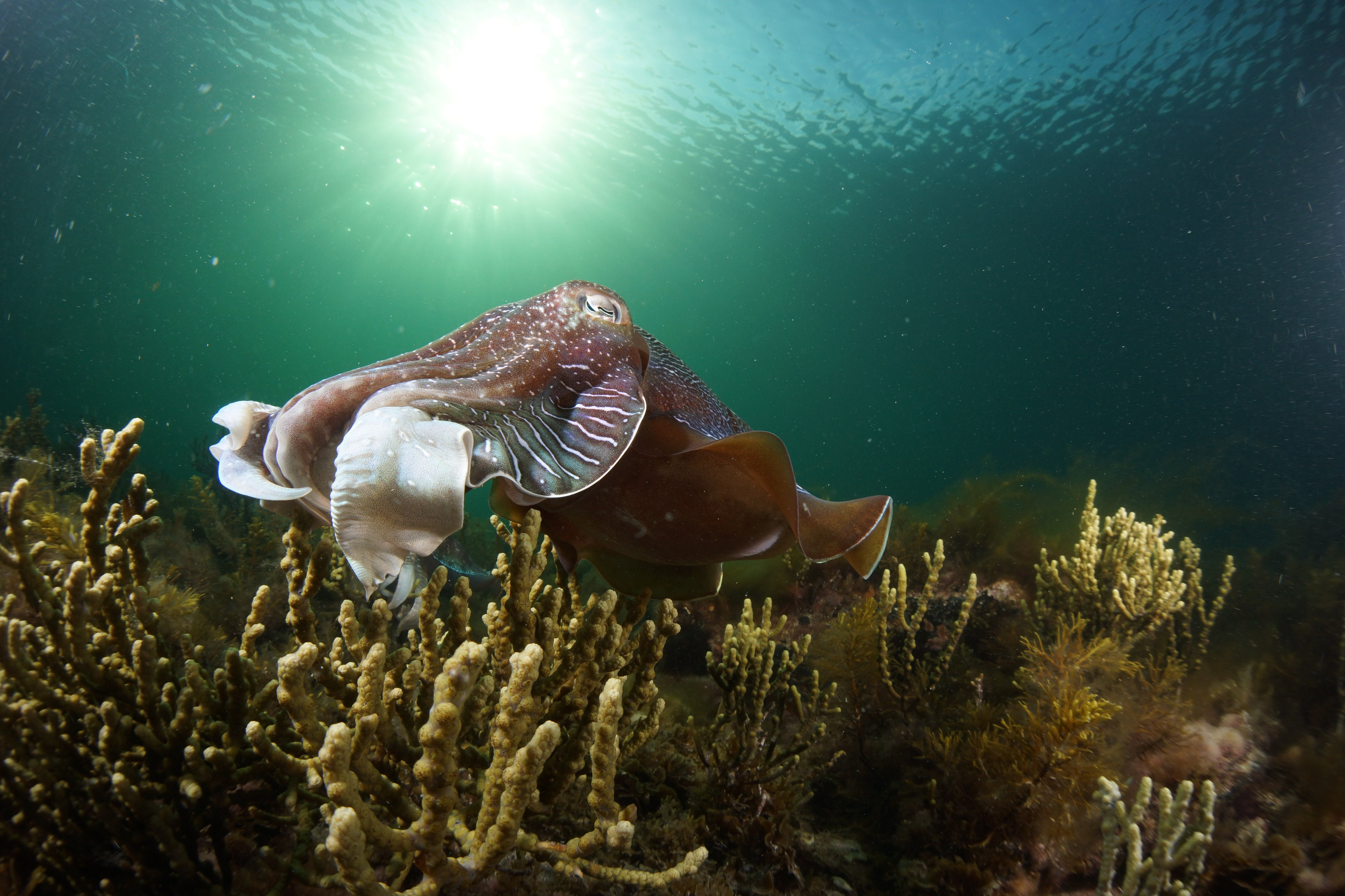 Cuttlefish Diving  Snorkeling EVERYDAY May -August - Accommodation Brisbane