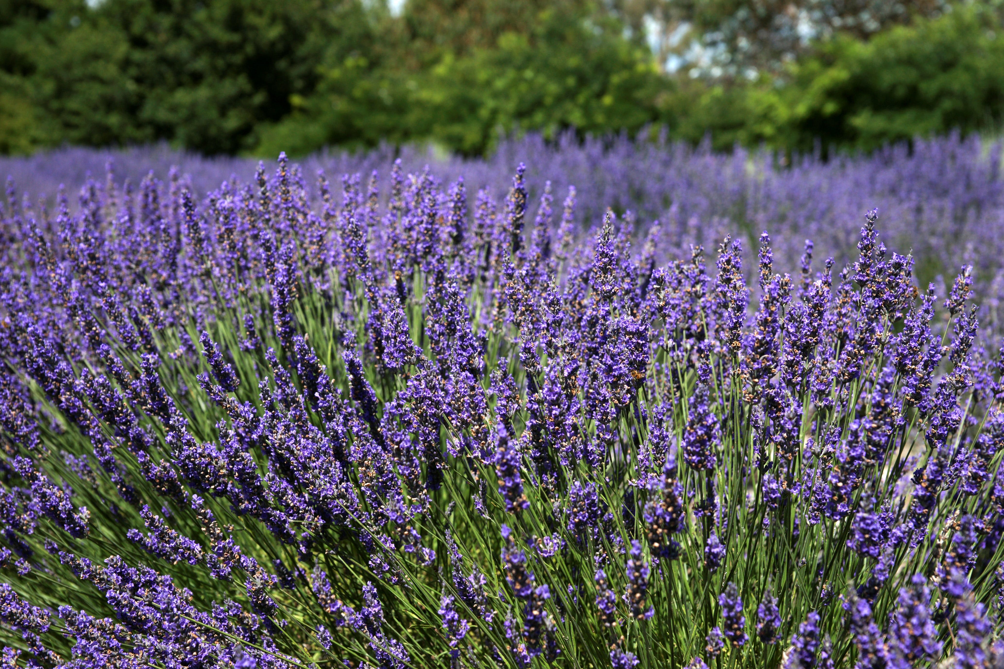 Lavender Herb and Chilli Festival - Accommodation Brisbane
